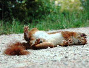 Les automobilistes sont les principaux prédateurs des écureuils