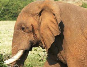 Excrétion de musth sur la tempe d'un éléphant mâle