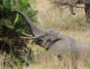L'éléphant se nourrit de matières ligneuses