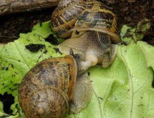 Accouplement d'escargots petit-gris © Audrey Mercier