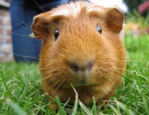 Elever un cochon d'inde