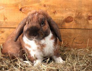 Elever un lapin bélier