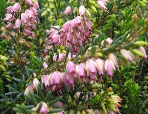 Erica darleyensis