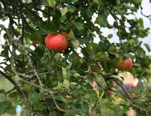 Choisir les pommes pour faire du cidre