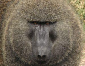 Babouin mâle adulte