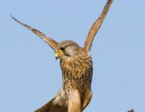 Le faucon crécerelle est un prédateur des moineaux