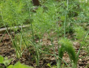 Jeunes plants de fenouil