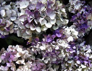 Choisir ses fleurs à sécher selon leur couleur
