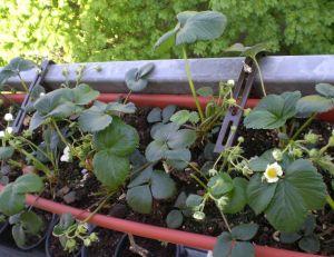 Cultiver des légumes ou des fruits sur son balcon : fraisiers