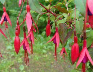 Fuchsia magellanica gracilis