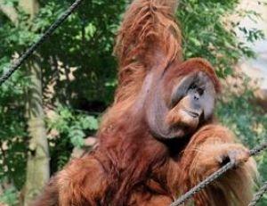 L'orang-outan est un funambule