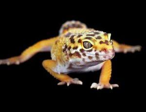 Gecko panthère
