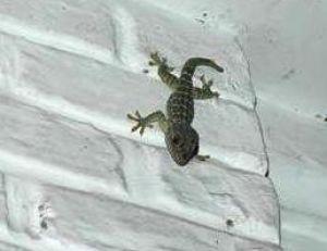 Gecko surveillant son territoire © Arnaud Filleul