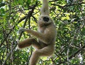 Les gibbons sont des acrobates