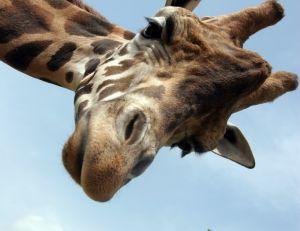 La girafe : un coeur gros comme ça
