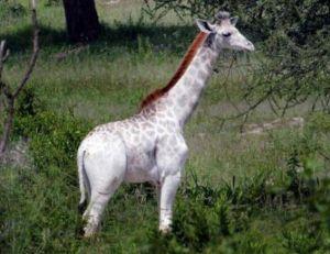 Cliché d'Omo, la girafe blanche repérée par Derek Lee dans un parc national de Tanzanie - copyright Derek Lee