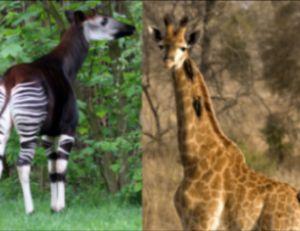 """La girafe et l'okapi : des """"découvertes"""" récentes"""