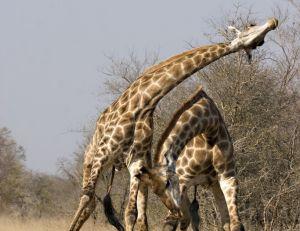 Combat entre girafes mâles