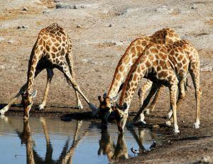 La girafe boit en écartant les pattes
