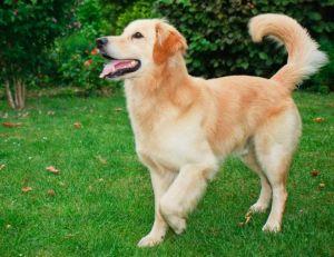 Choisir son chien : le Golden retriever