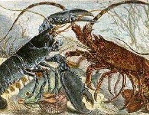 Le homard a des pinces, la langouste n'en a pas !
