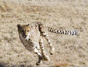 Le guépard est fait pour la course