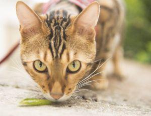 Les chats : de bons guides d'aveugles ?