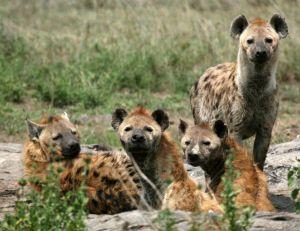 Famille d'hyènes