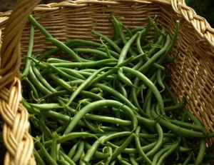 Cultiver des haricots verts