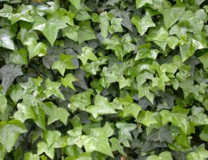 Lierre : Hedera helix Hahns