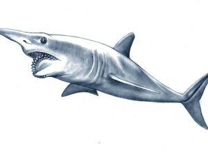 Hélicoprion ou le grand requin à hélice
