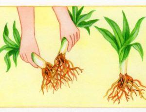 Diviser les pieds d'hémérocalles