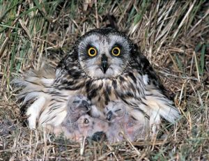 Hibou des marais ©Outback Images