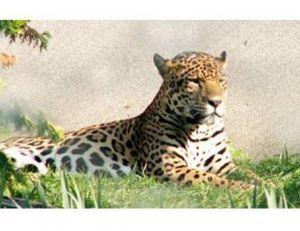 Dorénavant, il s'appelle jaguar