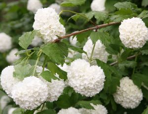Viorne boule de neige (Viburnum opulus)