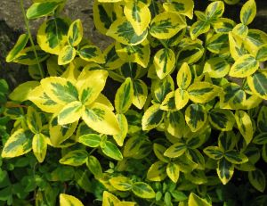 Euonymus fortunei Emerald'n Gold
