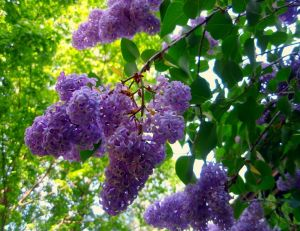 Lilas parfumant le jardin