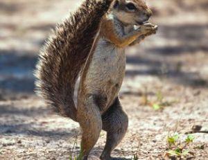 """Écureuil de Kalahari """"à l'ombre de sa queue"""""""