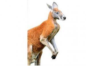 Le kangourou roux peut peser 90 kilos