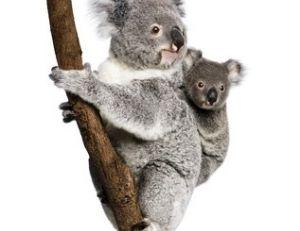 Un koala…... Des koalas