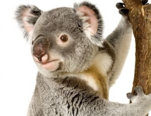 Un koala ou une peluche ?