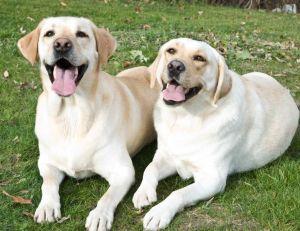Choisir la race de son chien : le Labrador Retriever
