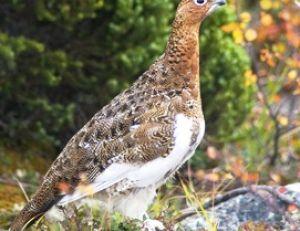 Le lagopède en plumage d'automne