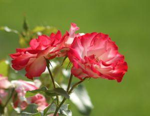 Connaître le langage des fleurs