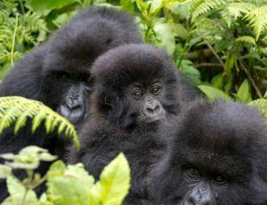 Le gorille oriental menacé