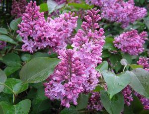 Culture du lilas