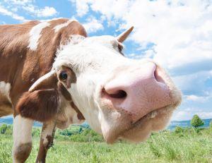 Limousin : découvrez le projet Cownect, pour des vaches connectées !
