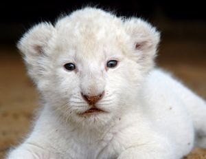 Lionceau blanc