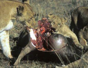 Lionne et lionceaux mangeant un gnou