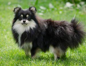 Choisir son chien : le Loulou de Poméranie